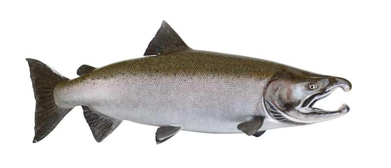 Чавыча – королева лососевого семейства