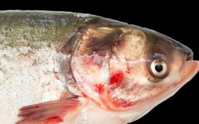 Нельма - сибирская деликатесная рыба