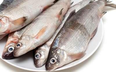 Муксун – все самое интересное о достойном представителе семейства сиговых рыб