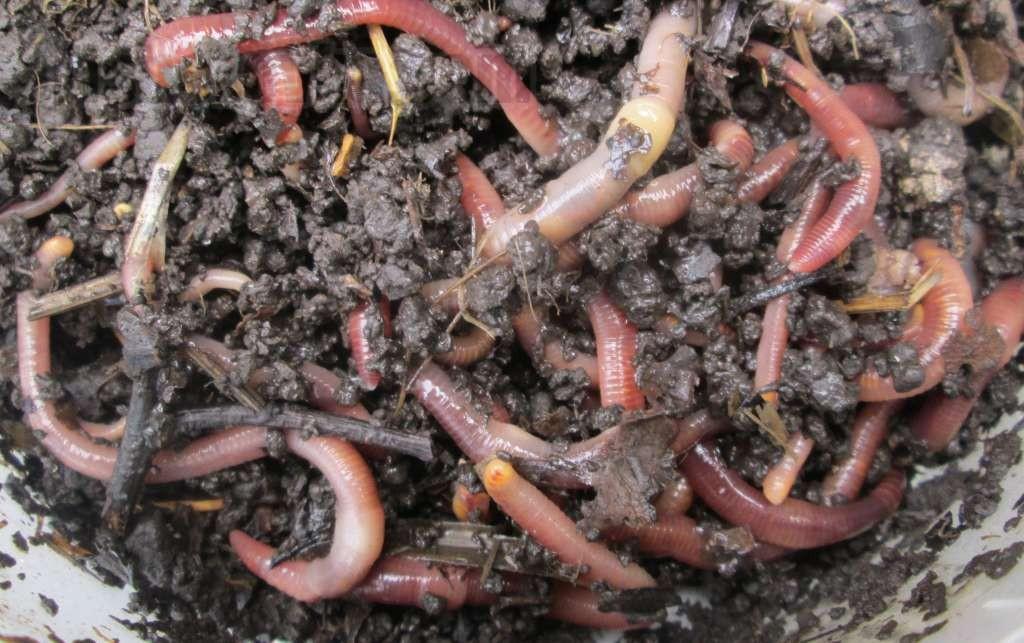 Как выращивать червей для рыбалки в домашних