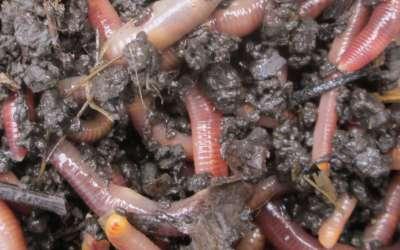 Разведение червей для рыбалки