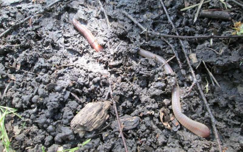 Поиск, хранение и особенности использования на рыбалке дождевых червей выползков