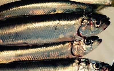 Салака – образ жизни и особенности ловли замечательной представительницы сельдевых рыб