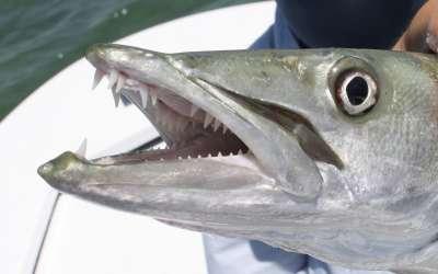 Барракуда – особенности хищника и основные способы ловли грозы морей