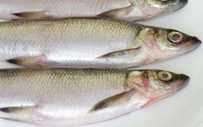 Рыба ряпушка: беломорская и другие подвиды