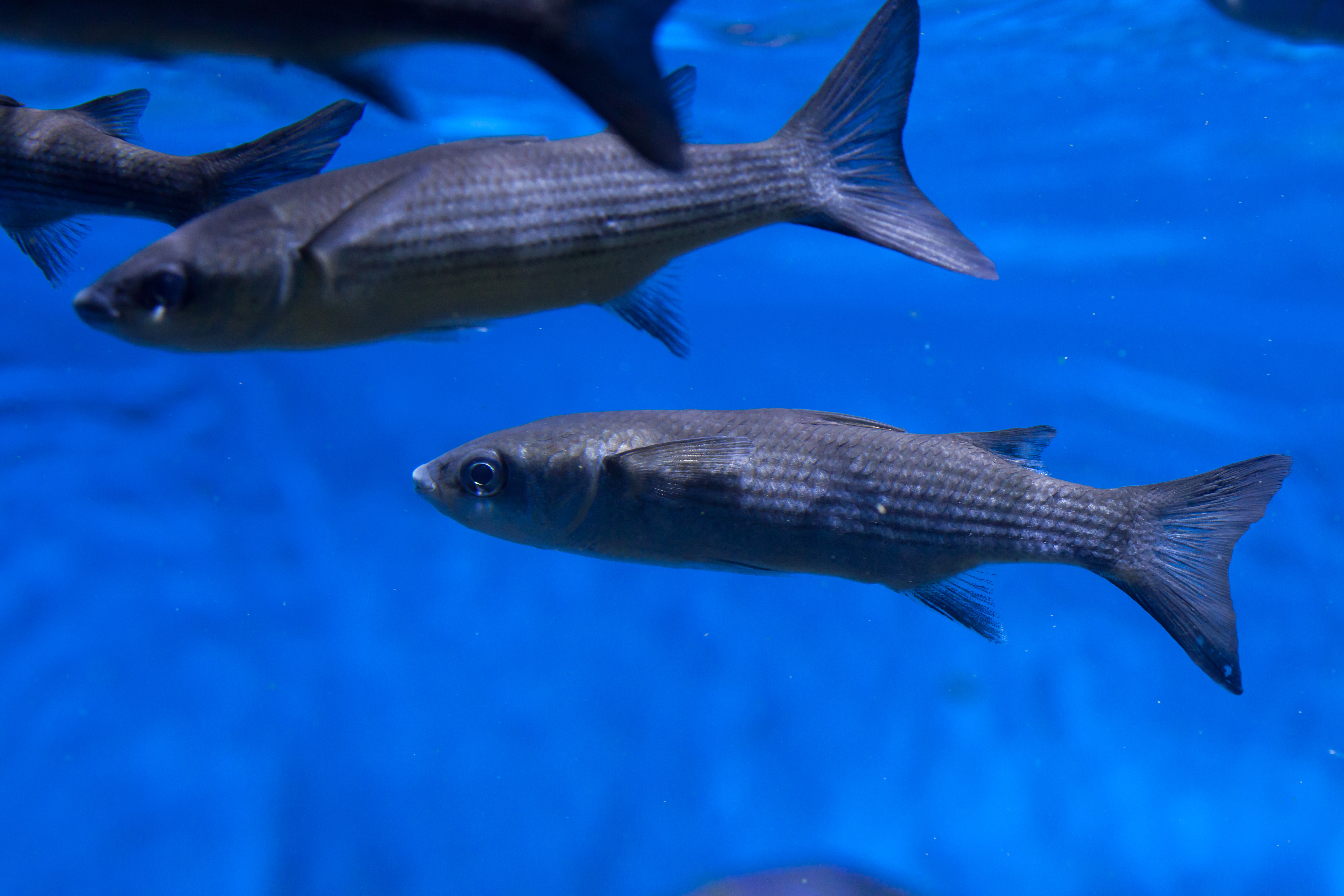 Биологическое описание рыбы лобан и особенности ее поведения