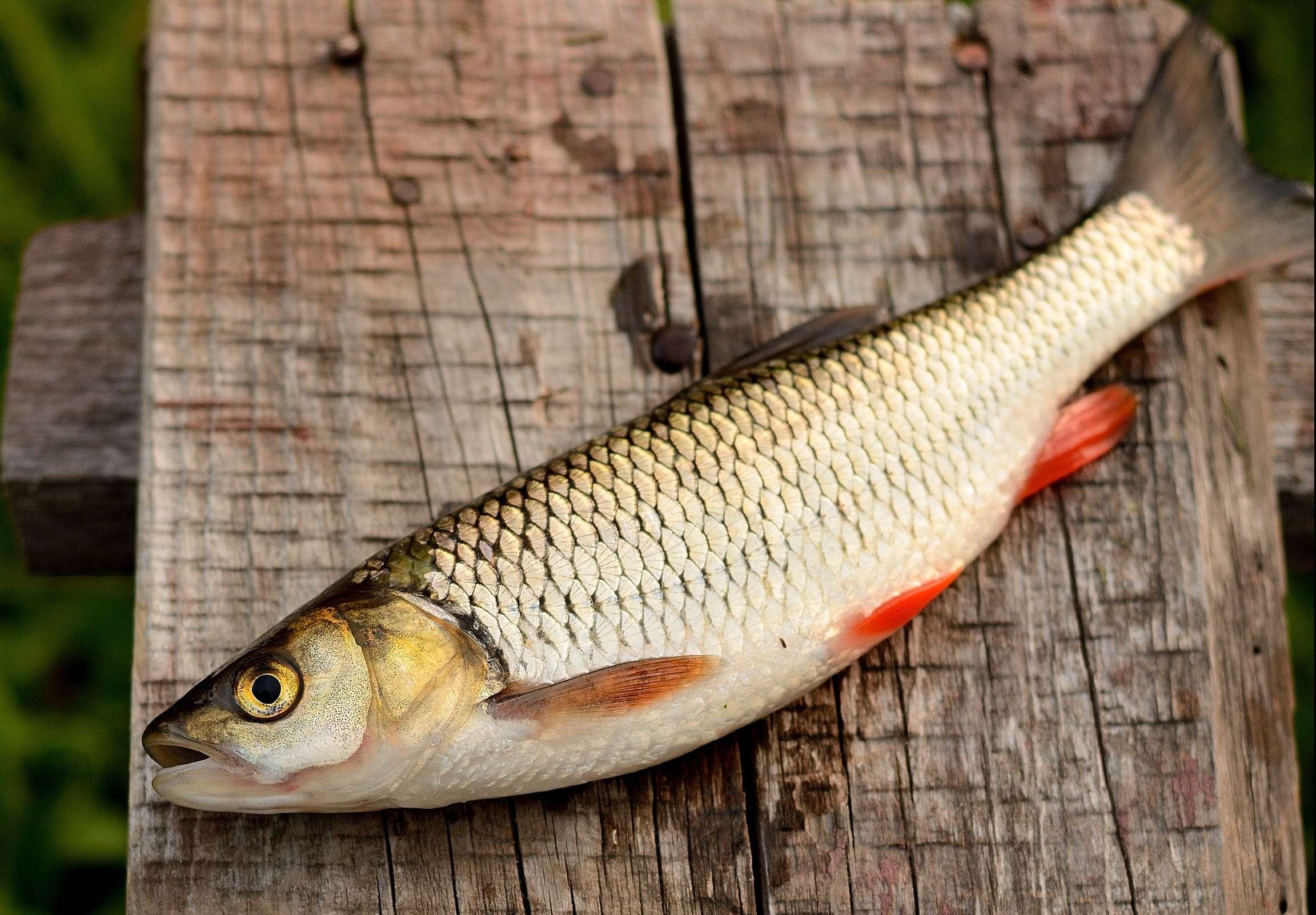 Загадочная рыба рыбец: особенности этого вида и секреты успешной ловли