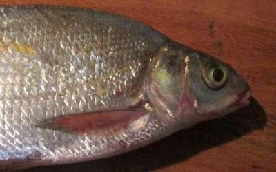 Густера: биологическая характеристика рыбы