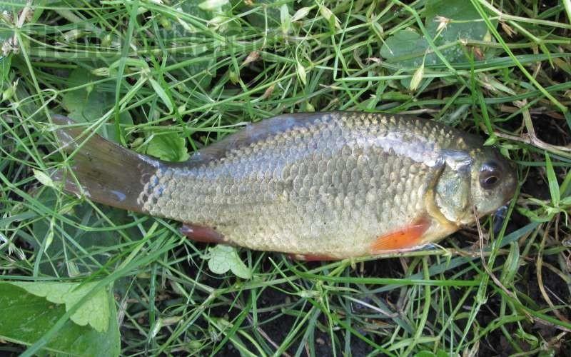 Рыба змееголов: описание хищника, поведение, способ ловли: http://fishelovka.com/fish/zmeegolov-neobychnaya-ryba-hishhnik-s-interesnymi-povadkami