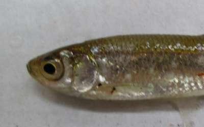 Верховка – маленькая рыбка в большом пруду