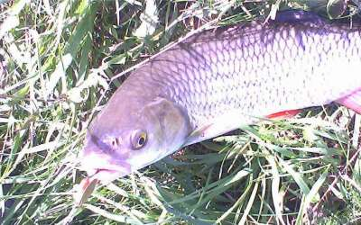 Летняя ловля голавля: образ жизни рыбы и выбор удочки