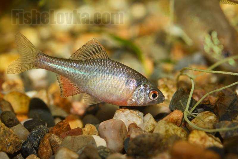 Рыба горчак: биологическая характеристика вида