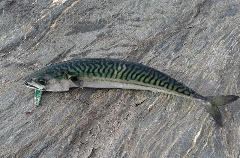 Секреты любительской ловли рыбы скумбрии