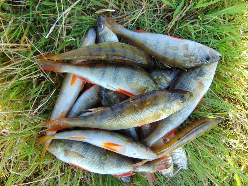 Береговая спиннинговая ловля окуня весной – особенности тактики и выбора снастей