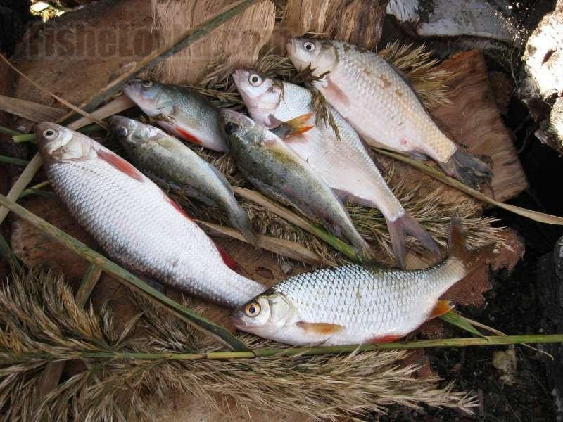 На реке в прилове с плотвой попадаются другие виды рыб.