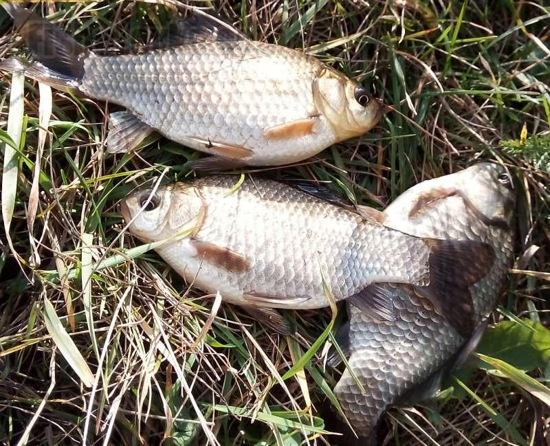 Тонкости ловли карася поздней осенью на фидер