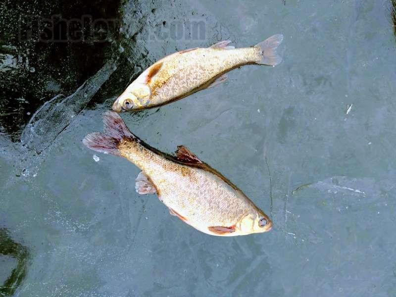 Озерный гольян также может использоваться в качестве живца.