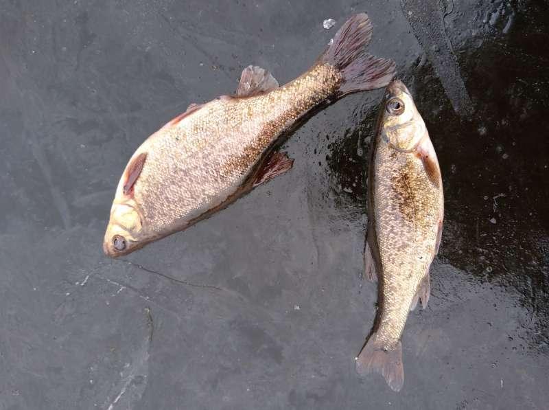 Заморная рыба, гольян, почти не шевелится на льду
